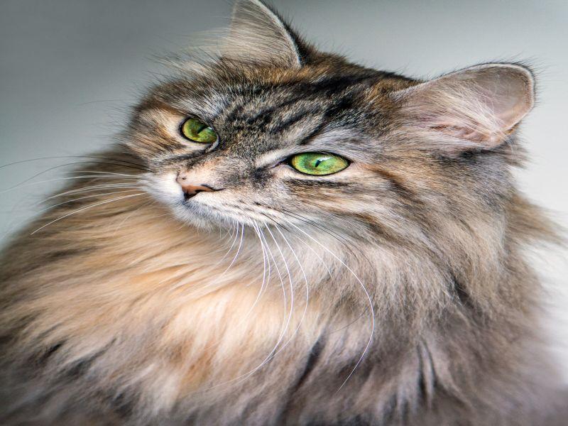 Największy kot świata – rasy dużych kotów